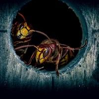 Wespen und Hornissen